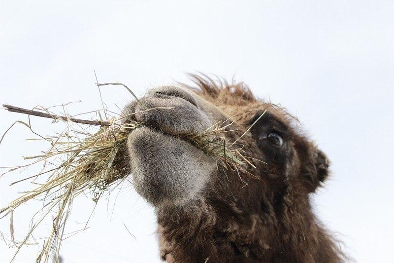 В тамбовском зоопарке родился верблюжонок