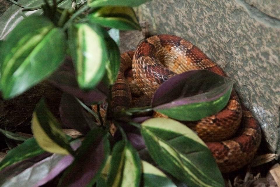 Маисовый полоз Оникс дал старт новому образовательному проекту в тамбовском зоопарке