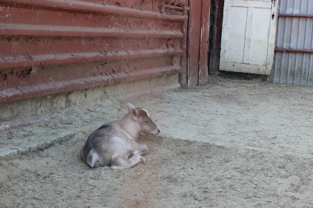 Северные олени, найденные в Петровском районе Тамбовской области