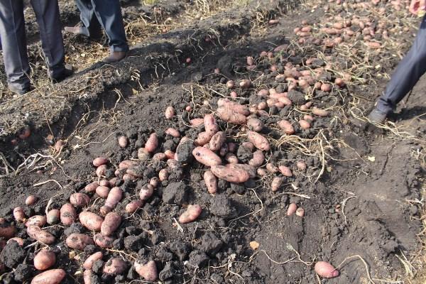 В Зеленчукском районе завершилась уборка урожая картофеля
