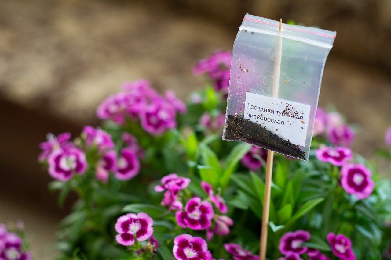 Фиалки сухие цветы